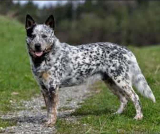 Australian cattle dog। Australian Heeler। all about Herding Dog Breed