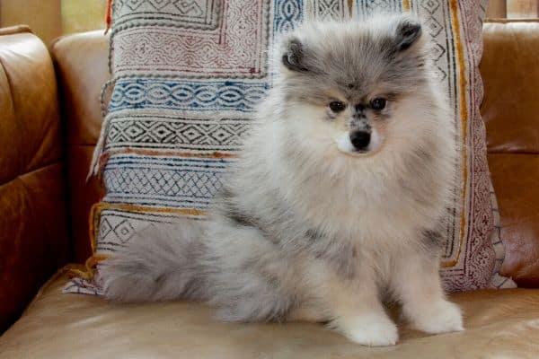 crossbreed dogs Pomsky - Dogkiduniya