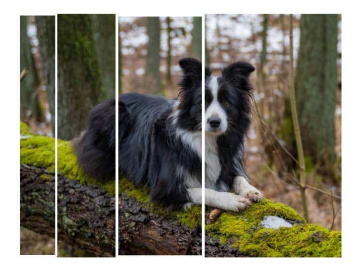 Alsatian Dog Dog breeds | Herding Dog - Dogkiduniya