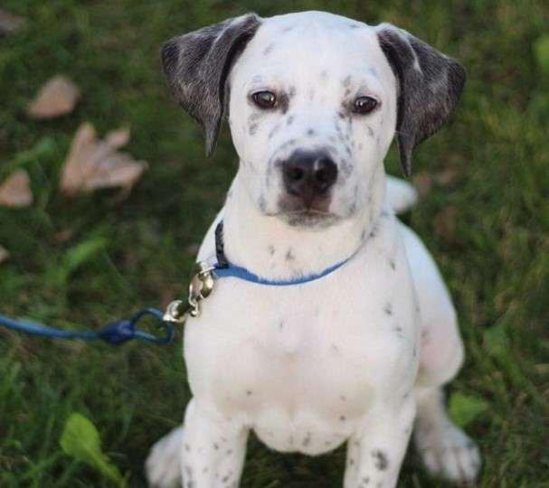 crossbreed dogs Bullmatian - Dogkiduniya