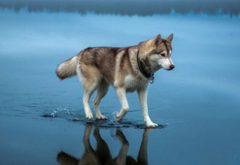 Siberian Husky - Dogkiduniya