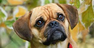 crossbreed dogs Puggle - Dogkiduniya