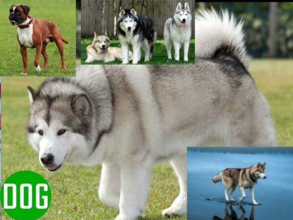 Pet top 10 most dangerous dog breeds in the world-Dogkiduniya