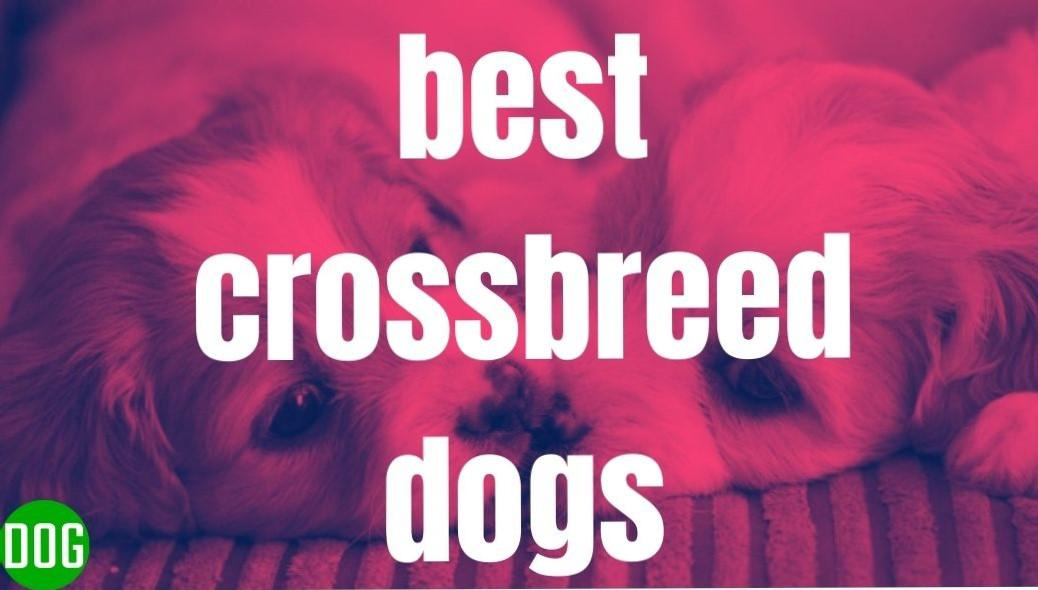 What are the best crossbreed dogs? dogkiduniya