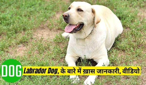 लेब्रा डॉग व Labrador Dog, के बारे में ख़ास जानकारी, वीडियो और पहचान